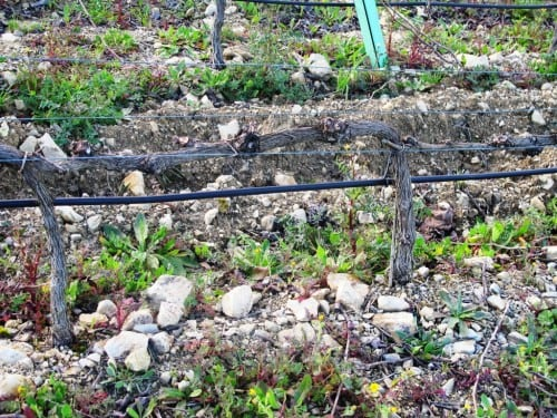 Limestone soils drain well while lumps of limestone reflect light and heat onto the vines