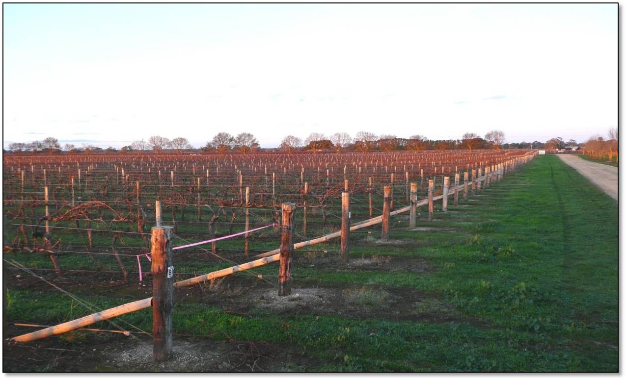 Harold vineyard