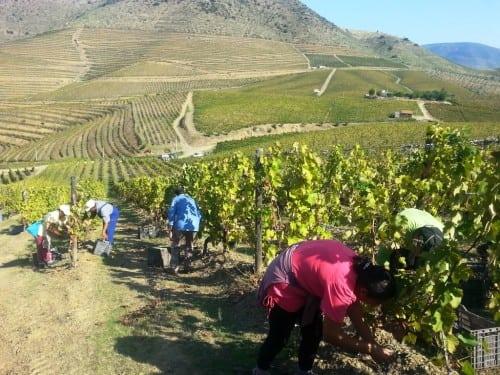 Harvest at Quinta de Leda, 2014