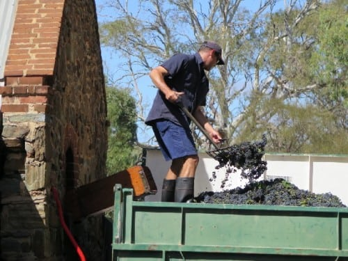 Barossa vintage: small batch winemaking at Rockford - Chief Winemaker Ben Radford shovels Shiraz