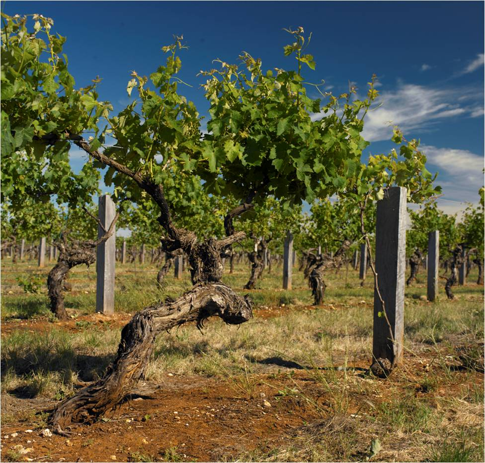 Wynns' oldest Cabernet - Johnson's Block - Photo credit: Wynns