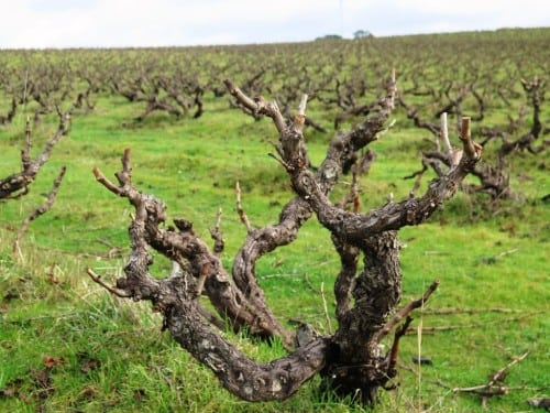 HIgh Sands old vine Grenache, planted 1946