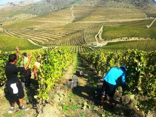 Harvesting at Quinta da Leda