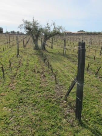 Extreme field blend, 100+ year old field blend vines & olive trees at Marivatora