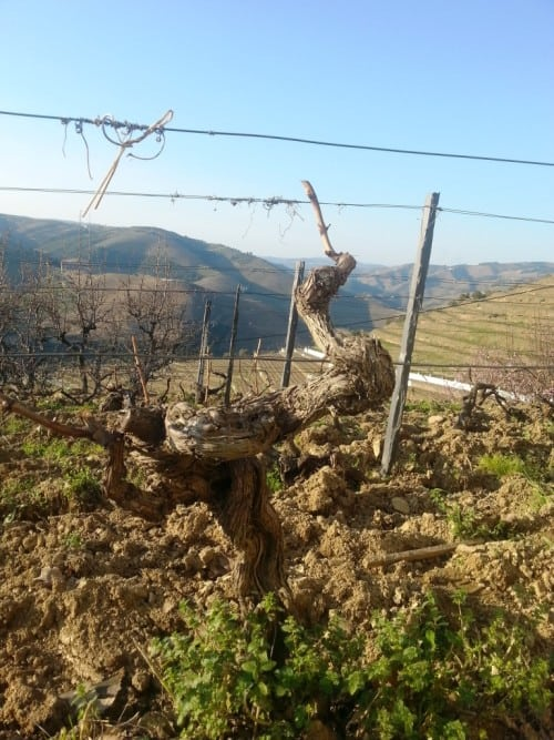 Ungrafted old vines at Quinta do Noval's Nacional vineyard