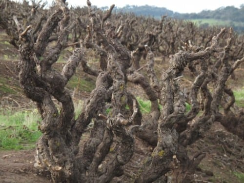seppeltsfield grenache vines